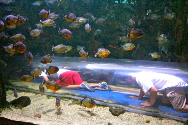 Interns Mark and Jacob crawled through the clear tube that went through the piranha exhibit. Luckily, they got out before the herd of shouting children came running through the tunnel.