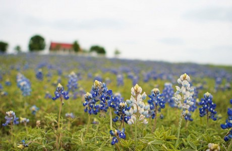 Texas Bluebonnet List